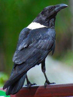 Pied Crow (Corvus albus)