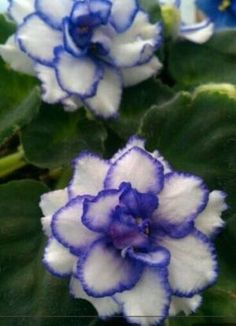 Pay Tracey African violet by Ali11