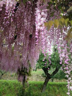 Pink wisteria at Relais & Chateaux Il Falconiere, Cortona. How dreamy!