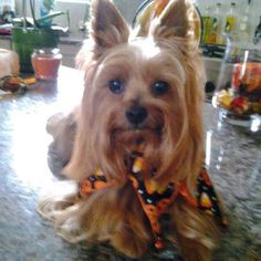 """Yorkie I want one, but she's not a """"thing"""""""