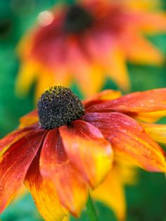 """Rudbeckia """"Gloriosa Daisies,"""" Close-up of Flower Head Photographic Print by Lynn Keddie  gardening, landscaping, planting, colorful flower, colors of the sun, yellow flower"""