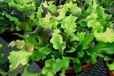 Lettuce Bowl - lettuce planted in a pot