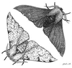 Biston betularia (Peppered moths), ink and graphite on paper, 2014. Specimen Illustrations/Jennifer Joslin. These moths are a classic textbook example of evolution in action.