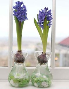 P.Allen Smith - growing hyacinths in forcing jars.