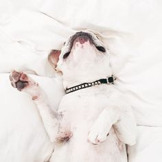 '....Rolling in the Deep', French Bulldog having a Heavenly Dream.