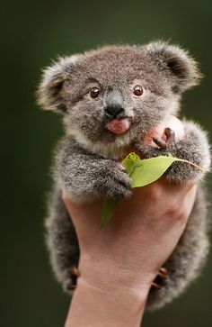 Archer the koala chewing gum leaves and marsupial milk to claw his way back to health Cute Funny Animals, Cute Baby Animals, Animals And Pets, Bear Pictures, Animal Pictures, Adorable Pictures, Beautiful Pictures, Koala Baby, The Wombats