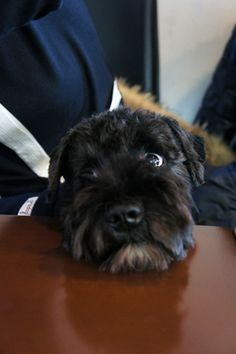 i think black schnauzer's have the worst puppy dog eyes ever...they get you EVERY time!