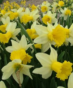 Narcissus Wisley - Cyclamineus Narcissi - Narcissi - Flower Bulb Index