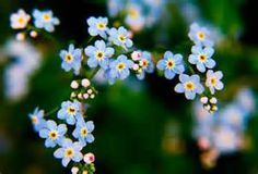 Forget- me- not- drizzle Forget Me Not, Fruit, Flowers, Plants, Tattoo, Pictures, The Fruit, Flora, Japanese Tattoos