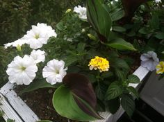 Yellow lantana and white wave petunias. Lantana smells amazing and is related to verbena.