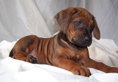 rhodesian ridgeback puppy - I'm having one!