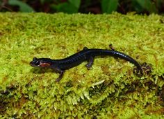 salamanders in the smoky mountains - Google Search