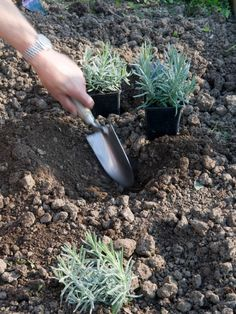 Improve Drainage for Lavender, A month or two before planting your hedge, dig plenty of organic matter into the soil to improve drainage.