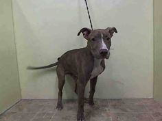 Manhattan Center    MARCO - A1008564    MALE, BR BRINDLE / WHITE, PIT BULL MIX, 1 yr, 1 mo  STRAY - STRAY WAIT, NO HOLD  Reason STRAY   Intake condition NONE Intake Date 07/30/2014, From NY 10039, DueOut Date 08/02/2014  https://www.facebook.com/Urgentdeathrowdogs/photos/a.617938651552351.1073741868.152876678058553/847809681898579/?type=3&permPage=1