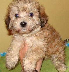 Malti-Poo Male Pups
