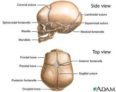 sutures of the skull | the sutures or anatomical lines where the bony plates of