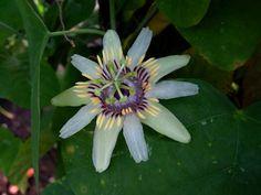 Passiflora Bicornis