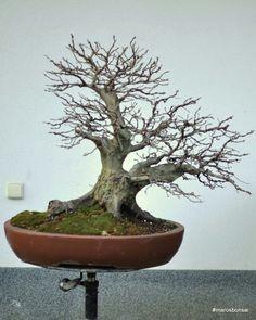 http://belanmaros.blogspot.sk/2015/01/storry-of-my-bonsai-tree-hornbeam-no11.html?m=1