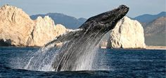 Cabo Expeditions whale watching in Cabo San Lucas