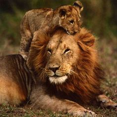 Beautiful! For this cub, the lion is not the terrifying beast that we might think, it is just his wonderful loving father.