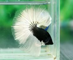 Betta fist are a fun beautiful fish that many people can have in their home with minimal effort. Learn these easy steps to taking care of this beautiful pet. Pretty Fish, Beautiful Fish, Animals Beautiful, Betta Fish Types, Betta Fish Care, Colorful Fish, Tropical Fish, Freshwater Aquarium, Aquarium Fish