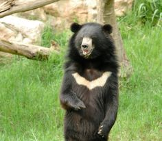 """Asiatic Black Bear - photo by anakkml;  Like the sun bear, the Asiatic black bear also has a light-colored mark on its chest. The fur is white and cresent-shapped, which eplains why the Asiatic black bear's scientific name, selenarctos thibetanus, means """"moon bear of Tibet."""" The bear can be found in Iran, Afghanistan, northern Pakistan, east through the Himalayas, south to Bangladesh and Laos, and north through the Tibetan Plateau."""