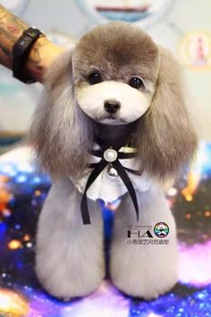 Poodle Asian fusion grooming