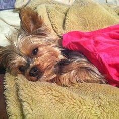 Sleepy puppy #yorkshireterrier