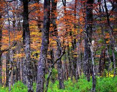 Temperate Forest in Patagonia - Chile