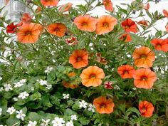 "How to Care for Calibrachoa... Calibrachoa is a fast-growing, compact annual that works well in hanging baskets and window boxes because of their trailing branches. They also look great as garden borders. A very heat- and cold-tolerant plant, Calibrachoa is commonly known as ""million bells"" due to the hundreds of blooms it produces in a wide range of colors. The blooms are similar to the petunia, except they are not sticky and attract hummingbirds."