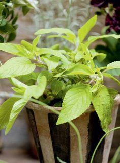 Ananassalvia | Maistuvia yrttejä | Koti ja puutarha