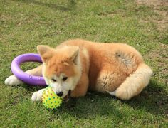 Andy Pups Paradise Akita Inu Puppy, Crochet Dog Sweater, Husky, Corgi, Paradise, This Is Us, Puppies, Animals, Corgis