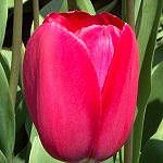 Single Late Tulip - Grand Style 3500 bulbs 12+