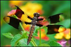 Dragonfly messengers