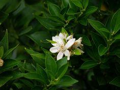 Blühender Chinotto (Citrus myrtifolia) - strahlendweißer Blütenduft vor edlem Laub
