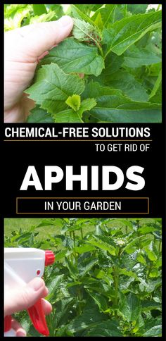 Plant lice are a real pain! Because it ruin the flowers and can kill the plants I decided to give the best advice to help you get rid of aphids. Aphids are green-gray or black, being very small and live in colonies on the back of the leaves, on the tips of the shoots and …
