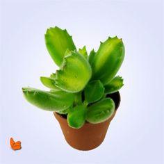 https://www.yoyomoyo.com/kedi-patisi?utm_content=buffer831e0&utm_medium=social&utm_source=pinterest.com&utm_campaign=buffer Teraryum Bitkisi. Her teraryum için son derece sempatik olabilecek bitkilerden bir tanesi kedi patisi. #yoyomoyo #sukulent #kaktus #teraryum #teraryummalzeme #teraryummalzemeleri #succulent #cactus #terrariums #babalargunu