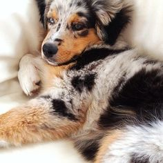 this is the Aussie I want! blue Merle and bi eyed!