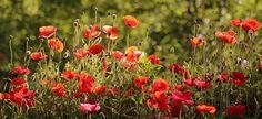 Morning Poppies at Cantigny Gardens, Wheaton, IL