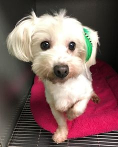 A Home 4 Ever Resc; Costa Mesa, CA. Holly! <3 • Maltese & Poodle X • Female • Small. Very sweet, tiny 7 yr old looking for someone to love her again. Holly's teeth were all rotten & her hair badly matted & she wandered the streets until animal control found her. Had a vet check out her teeth, which ended up being pulled. Gave her a day at a doggy spa & she is a new dog, happy & ready for a new life! Small kids just scare her to death. House-trd.