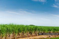 agricultural fields of sugar cane (Caña de azucar)