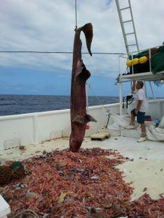 Florida, catturato esemplare di raro squalo goblin: è noto come il fossile vivente