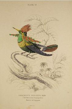 Sir William Jardine Hummingbird Trochilus Scutatus Easy To Repair Original Antique Print