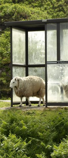 Only in Scotland - Sheep waiting for the bus...