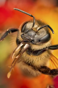 ☀Bee portrait - nature macro ✔ BWC #Busy #Bee www.ampleearth.com