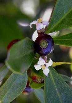 Alibertia lonifolia // (jan-abr) //  frutos são consumidos in-natura e na forma de geléia. É uma ótima planta para se fazer cerca viva.lembra o sabor forte da marmelada, com um doce muito agradável