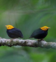 Trinidad Birding Tour with FIELD GUIDES: Trinidad and Tobago    yellow headed manjkin