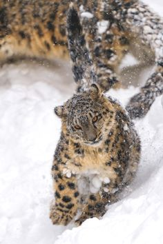 snow leopard cub + snow   animal + wildlife photography
