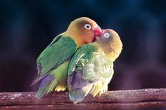 pappagalli inseparabili Inseparabili Non per niente questa razza di pappagalli viene chiamata Inseparabili… Guardare per credere!