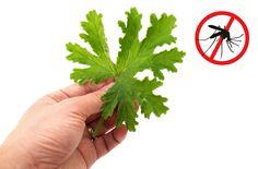 Många växters eteriska oljor används i myggmedel. De starka dofterna från några plantor som placeras nära ingångar, fönster och sittplatser kan hjälpa till att hålla myggor borta. Rör man vid växterna frigörs dofterna. Man kan även odla dessa myggplantor för att själv göra myggmedel att spreja eller smörja på sig.